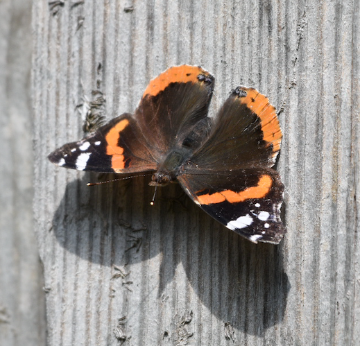 Red Admiral butterfly, Cambridge