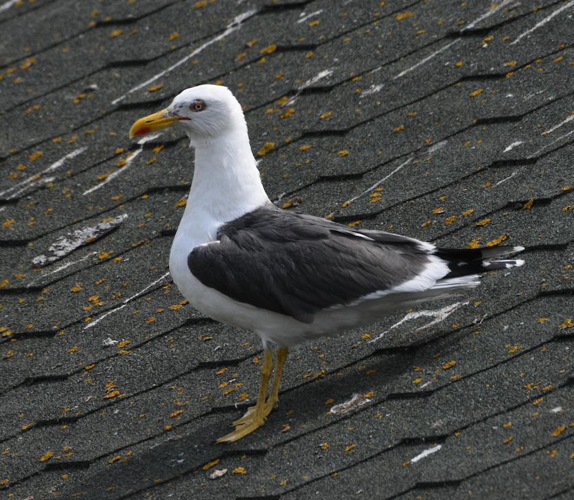 Lesser Black-backed Gull Slimbridge