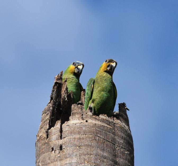 Orange-winged parrots