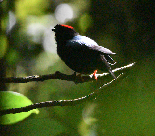 Blue-backed Manakin
