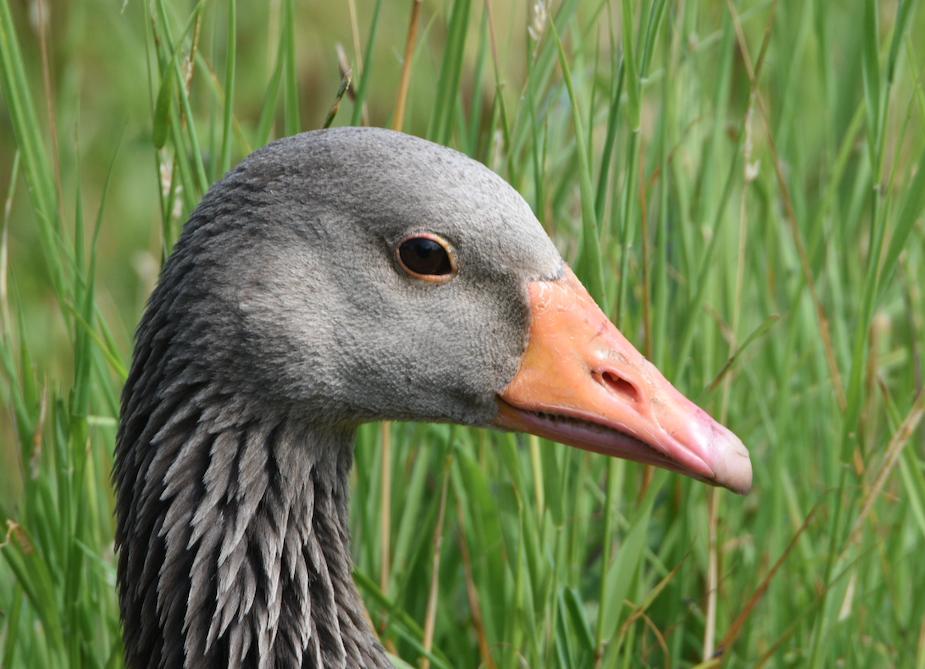 Greylag Goose Slimbridge