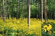 長野県原村で群生していたオオハンゴンソウ。右下は花の拡大写真