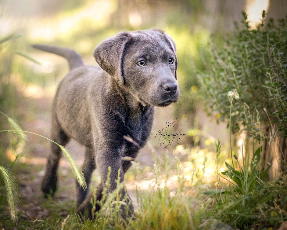 Emma das kleine Labradormädchen