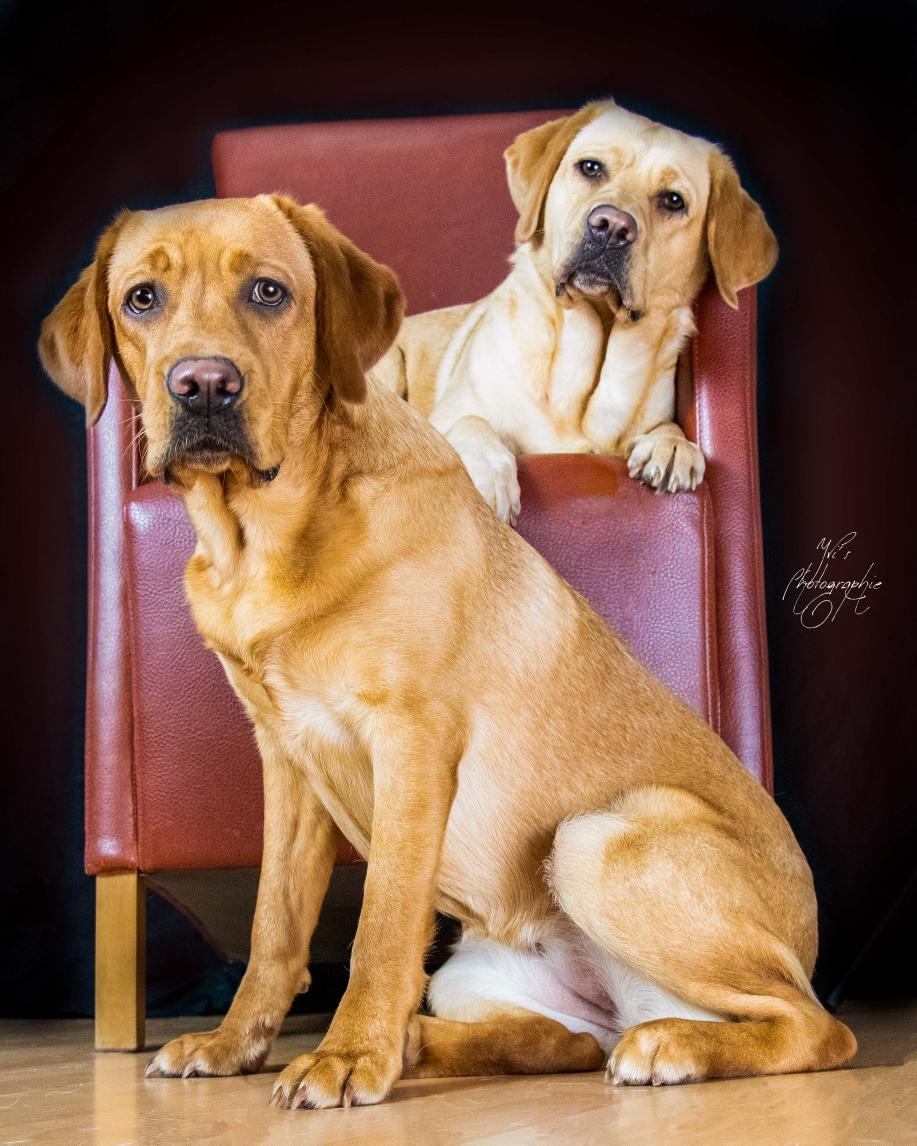 Labradormädchen zu zweit
