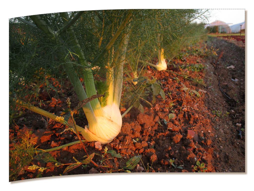 Les fenouils sont délicieux revenus longuement à la poêle avec de la tomate, des petits ognons et du chorizo (merci à Julien pour la recette !)