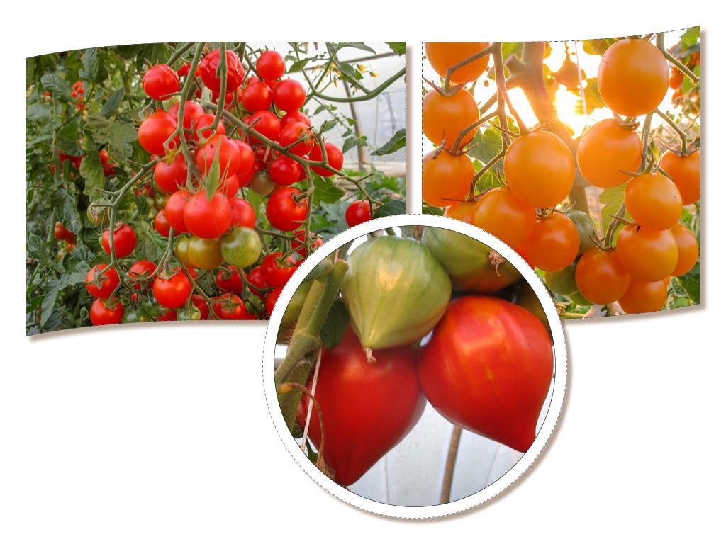Les tomates sont toujours là profitez-en !