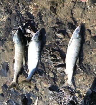 スタッフブログ 理学療法士の鮭釣り 写真4