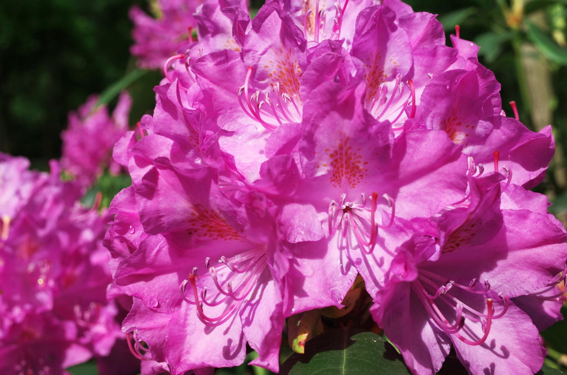 Blühender Rhododendron am 31.05.2015