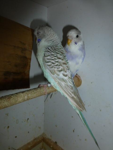 Auch wenn die Wachshaut nicht blau ist, ist er ein Hahn. Er ist ein Falbe. Bei dieser Mutation ist es so!