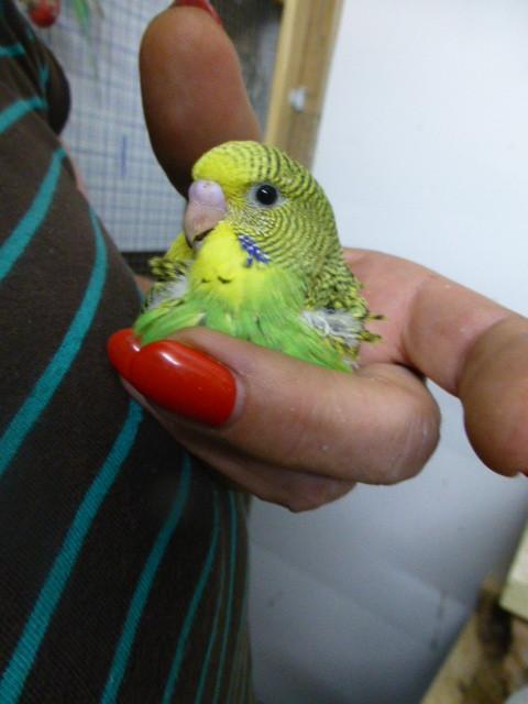 Dieser kleine Hahn sieht aus wie Achmed und ein ganz leuchtendes grün hat er.