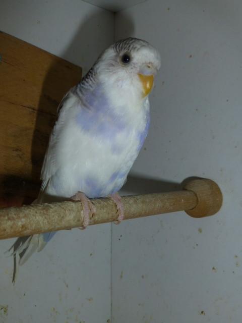 Dieser Lila Milkavogel soll angeblich ein  Hahn sein und ist von einer Freundin. Evtl. zieht er hier ein. Allerdings bringt er noch ein paar Freunde mit. Dort ist die Zeit für die Wellis sehr rar.