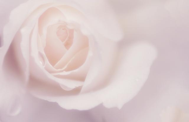 ビンクのバラの花写真