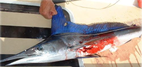 Espadon pêché sous voile au milieu de l'Atlantique.