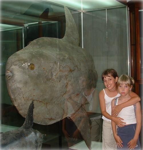 Poisson lune (Sun fish, mola-mola) de 500 kg au Musée de Funchal.