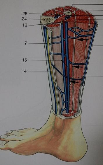 解剖学カラーアトラス 第8版より