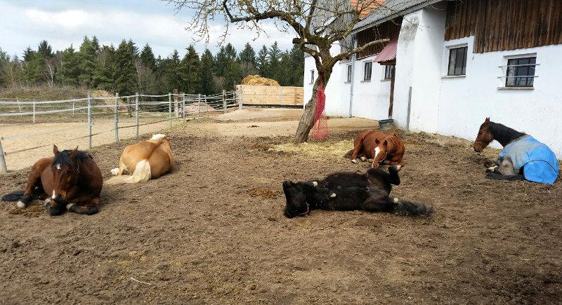 Entspannte Pferde  in der Mittagssonne