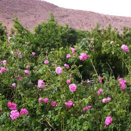 Tour organizado en el Valle de las Rosas en Marruecos