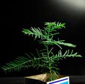 саженцы секвои продажа семена для бонсай