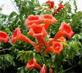семена кампсис  укореняющийся campsis radicans цена