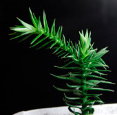 саженцы арвукарии продажа семена araucaria araucana seeds seedling