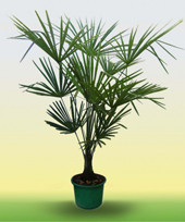 семена трахикарпус форчуна trachycarpus fortunei