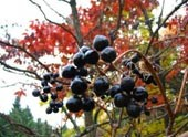 семена бархата амурского phellodendron amurense купить