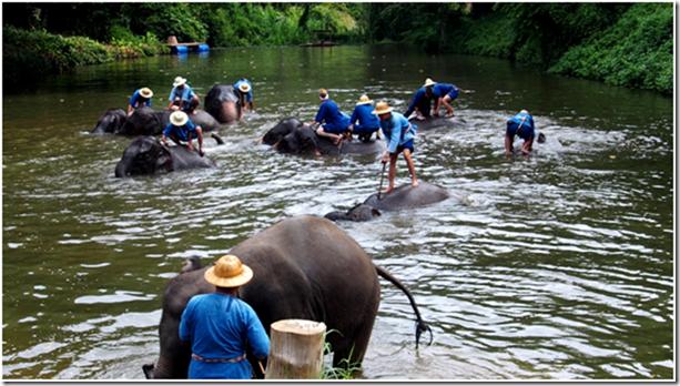 Mit den Elefanten im Fluss baden. Thailand.