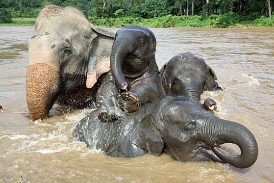 Elefanten baden im Elefant Naturepark in Chiang Mai