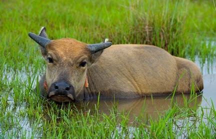 Wasserbüffel unterstützt den Anbau