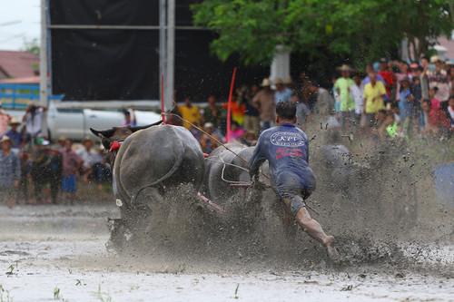 Wasserbüffelrennen Chon Buri