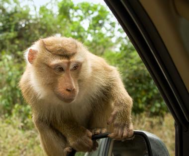 Niemals sollten Sie mit offenem Fenster im Khao Yai Nationalpark halten!