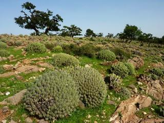 Euphorbia Resinifera
