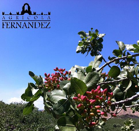 Le piante alberi di pistacchio agricola fernandez for Alberi in vendita