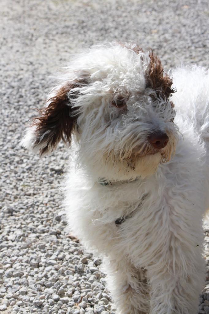 """Estrella del Agua """"Ayka"""" eine Enkelin von unserer Berra, auch auf diesen tollen Hund sind wir mächtig stolz...!"""
