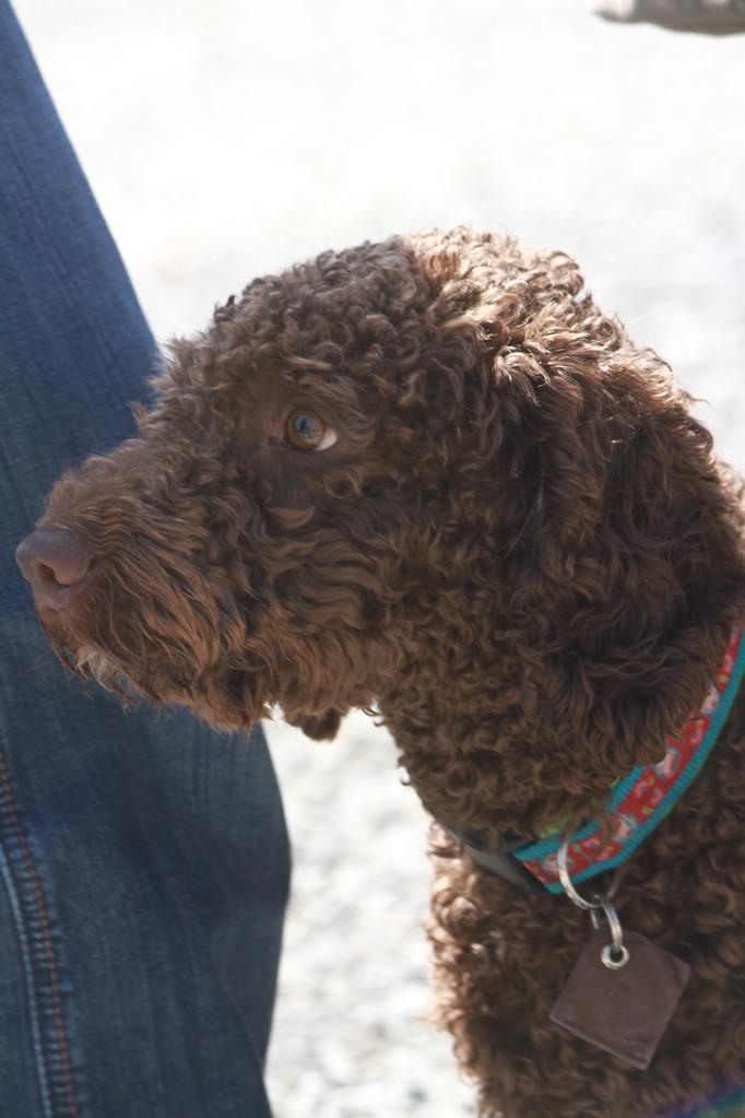 """Hada del Agua """"Hattie"""" eine Tochter von Hanka und Espino...superschöner Hund!!"""