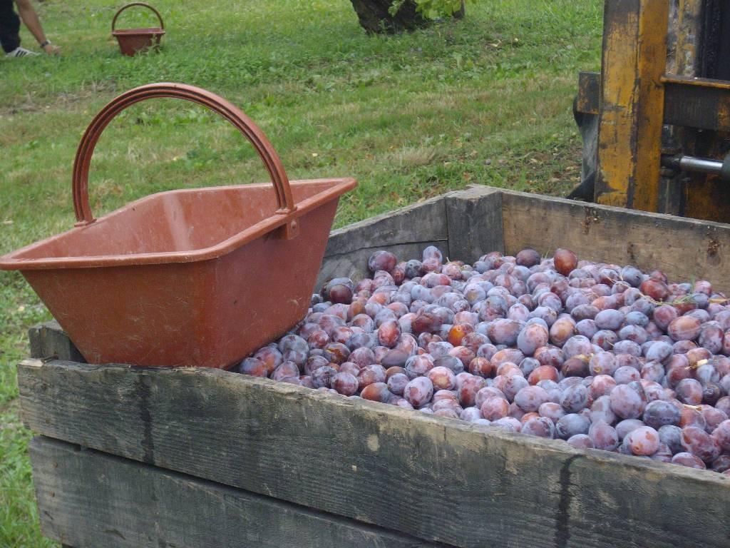 Dans 24 h ces prunes seront devenues de succulents  PRUNEAUX d 'AGEN