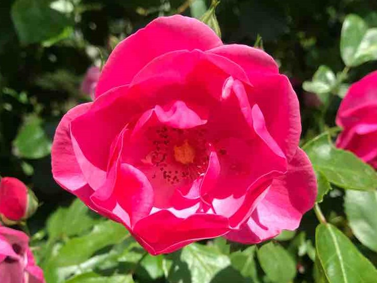 【お知らせ】バラの咲く初夏のお庭で ガーデンYOGAリラックス