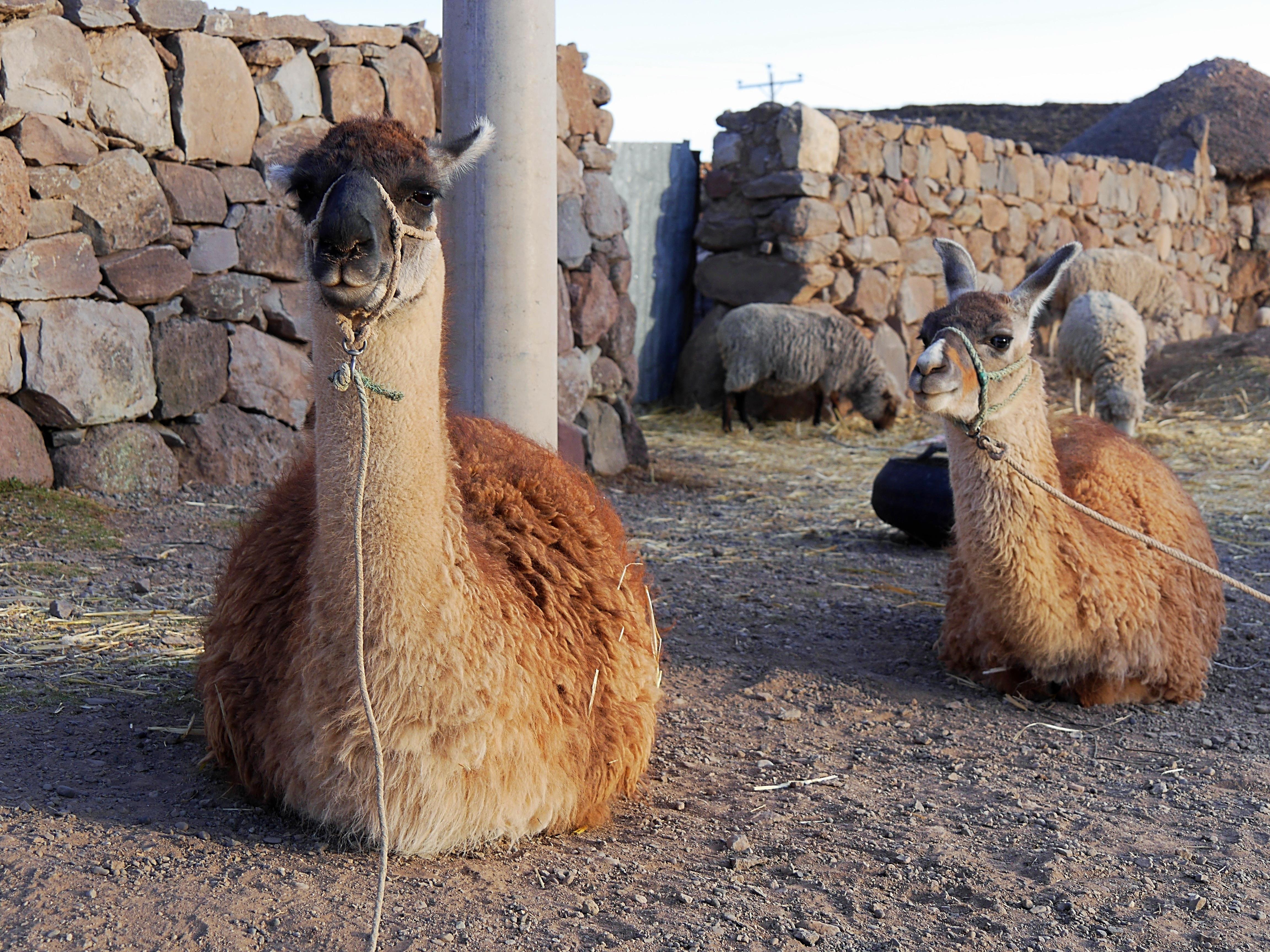 Immer wieder sehen wir die Tiere Südamerikas - aber leider nur die domestizierten! Sillustani, Peru (Foto Jörg Schwarz)