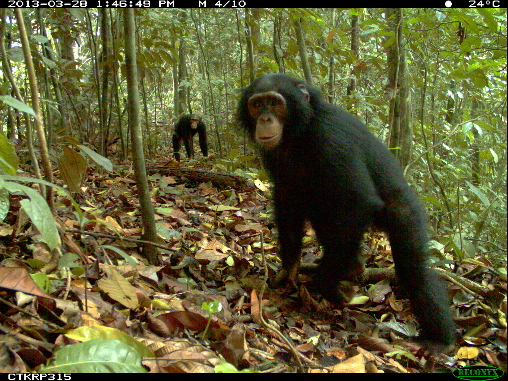 Camera trapped chimpanzees