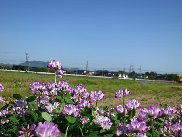 畑電とレンゲ
