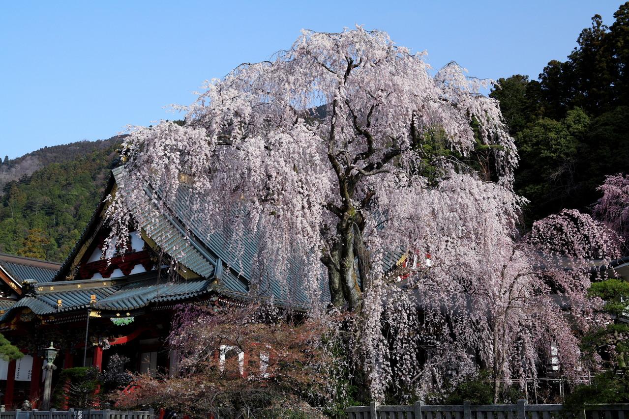 身延町・身延山久遠寺のしだれ桜