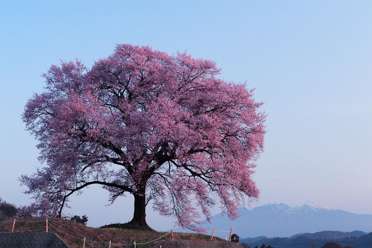 韮崎市・王仁塚(わにづか)の桜