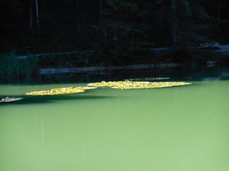 Seerosen am Hechtsee