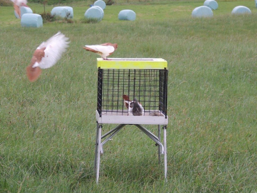 Elsterpurzler auf dem Flugkasten - Züchter Maik Löffler
