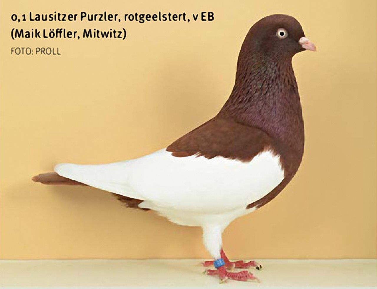 Elsterpurzler rotgeelstert - Züchter Maik Löffler