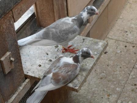 Wammen Tauben