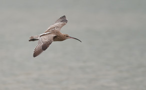 Curlew Fotosearch.com