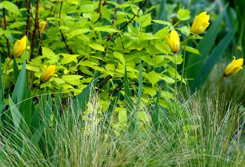 Wald-& Weinbergtulpe* 'Silves-tris': reichblühende, innen butter-gelbe, außen grüngelbe Blüte, Duft!