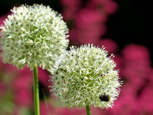 Zierlauch*T Allium 'Mount Everest': große, reinweiße Blütenkugeln, lange stabil