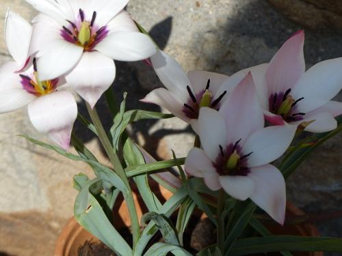 Zwerg-Tulpe 'Peppermintstick': außen hellrot, innen elfenbeinfarben mit violetter Mitte